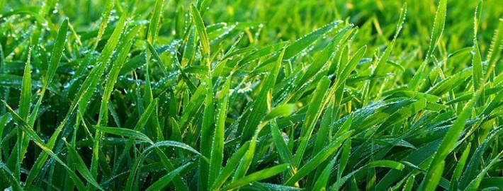 lawn-grubs